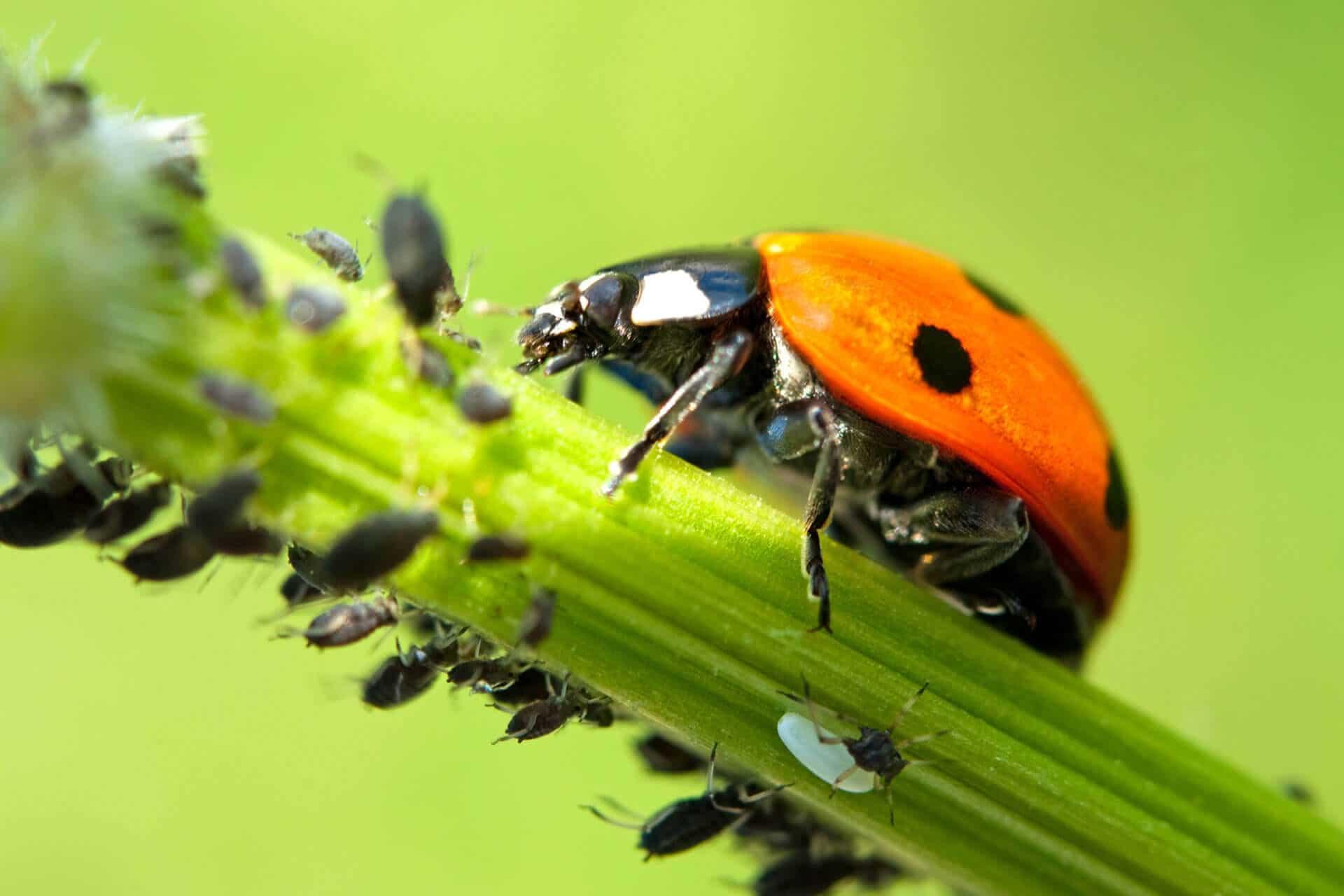 Natürliche Schädlingsbekämpfung durch Nützlinge